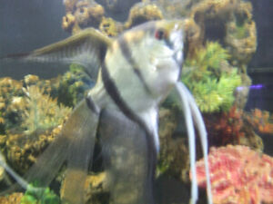 One Pair of very large Viel Tail Silver Angelfish