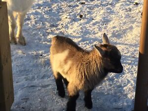 Male fainting goat baby