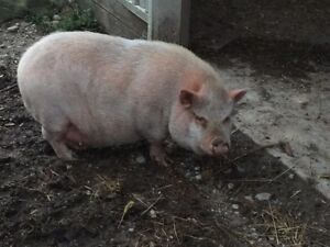 Female pot belly pig (charlotte) pet not for spit