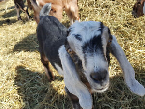 Bottle babies: Purebred Nubian Goats