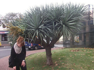 yucca torreyi palme winterharte stammbildende sukkulente. Black Bedroom Furniture Sets. Home Design Ideas
