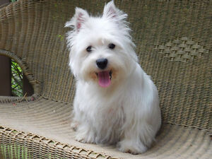West Highland Terrier Adult (Westie)
