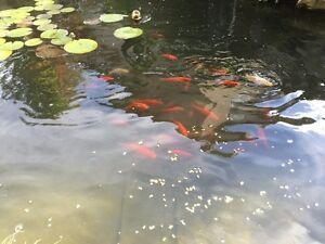 Gold fish .. West Kelowna
