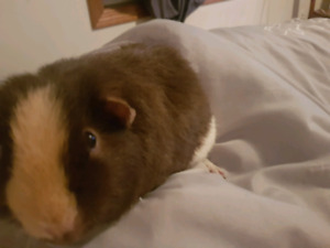 Guinea pigs looking for their forever home