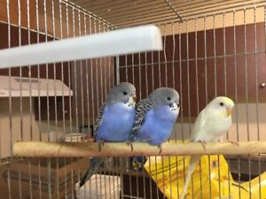 Hand fed Baby Budgies