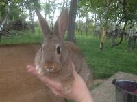 Pets or Pot - Rabbits For Sale - Need Gone!