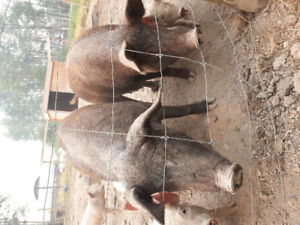 Breeding sows for sale
