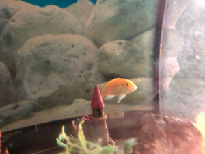 Yellow lab cichlid for rehoming