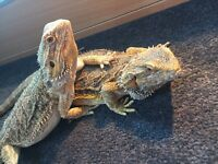2 Beautiful Female Bearded Dragons