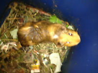 Guinea pig for sale