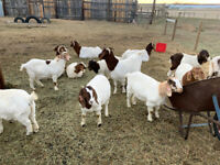 Meat goats for sale Price reduced. $3.00lb