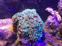 Green star polyp colony