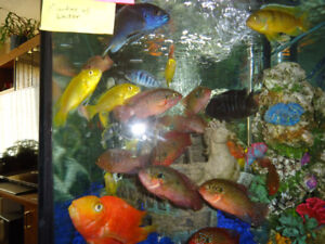 Red Jewels Yellow Labs Convict Cichlid's