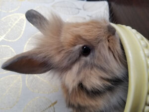 Single Maned Lionhead Kits