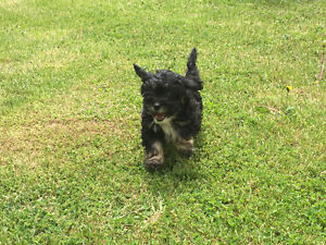 Beautiful Shih-Poo Puppies for sale!