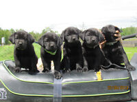CKC Registered Black Labrador Puppies