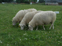 Finn ewe lambs, yearlings and 2yr old sheep