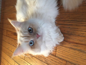 Looking for male ragdoll