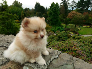Beautiful mini pomeranian white and brown particolor