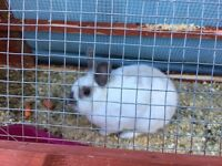 Mom rabbit for sale