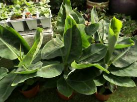 Cavendish Banana plants