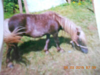 2 MINIATURE HORSES FOR SALE
