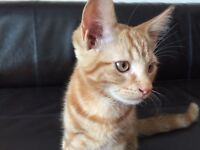 Gorgeous Ginger tabby kitten, male, part bengal