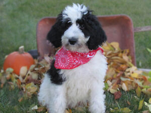 Lovable Moyen Poodle Male Puppies