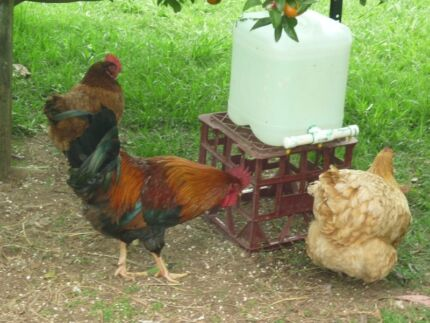 Welsummer Rooster Galston Hornsby Area Preview