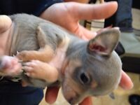 Tea cup female Chihuahua should mature to 4lbs