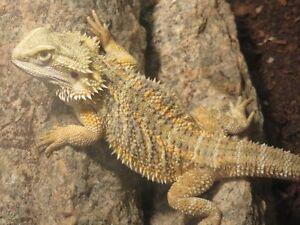 Hypo Bearded Dragons