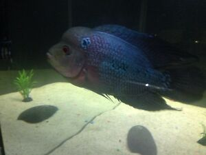 "8"" kamfa Thai silk cross Flowerhorn"