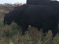 Black Angus Bull For Sale