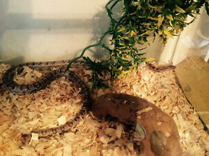 Corn snake for sale Belleville Belleville Area image 2