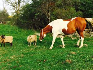 On Farm Lease on Trail horse Belleville Belleville Area image 4
