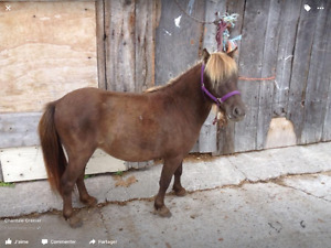 Cheval miniature  4 ans jument