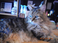 MAINE COON MIX  -- Fixed - @ Small Things