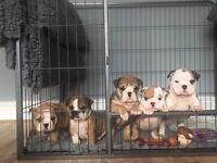 British bulldogs huu clear DNA tested Ata/Dd/BB