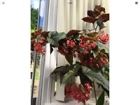 ANGEL WINGED BEGONIA in Pot EASY HOUSE Indoor PLANT BEAUTIFUL LEAVES PINK BLOOMS