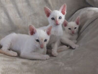 Purebred and registered Siamese kittens
