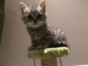 British shorthair kitten male