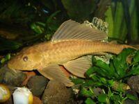 GOLD PLECO 5cm & 10cm TROPICAL FISH