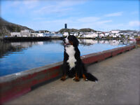 LOST BERNESE MOUNTAIN DOG