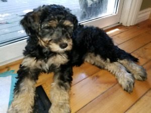 Beautiful Aussiedoodles puppies for sale - only 2 left