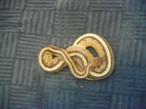 snakes, snakes and more snakes part 2 Kawartha Lakes Peterborough Area image 3