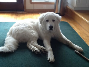 Great Pyrenees for rehoming