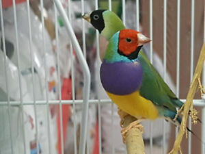 Pair of Gouldian Finches