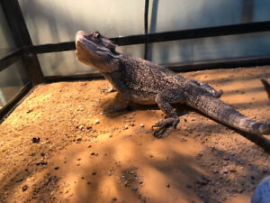 Male bearded dragon for re-home