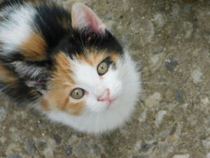 Adorable Calico Kitten for Sale!
