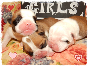Bulldog (Olde English Bulldogge) Puppies!